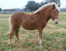 15 Jill, palomino filly, DOB 3/25/15, good pair for driving with 15 Daphne