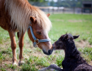 Pony_Mare_Foal_Reproduction