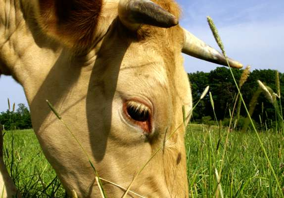Fawn cow eating grass