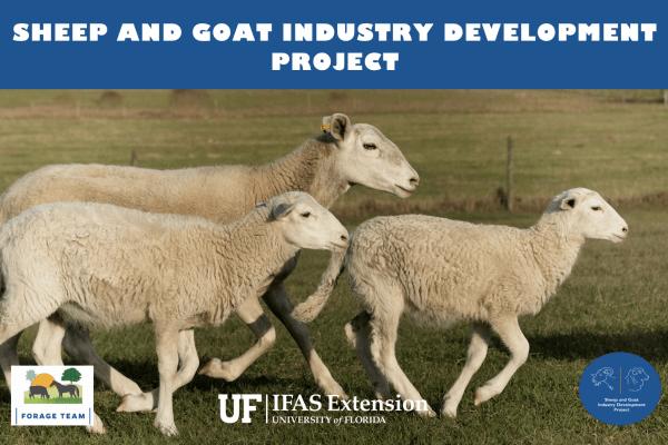 flyer sheep image